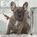 Antigua Lilac Male French Bulldog Puppy POA