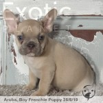 Aruba Lilac Fawn Male Frenchie Puppy POA