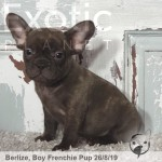 Berlize Male Chocolate French Bulldog Puppy POA