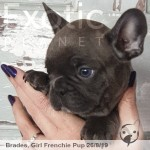 Brades Blue Female Frenchie Puppy POA