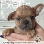 Cayenne Blue Fawn/Red Male Frenchie Puppy POA