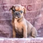Bhutan (Taken) - Boy Frenchie Puppy