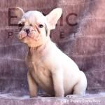 Costa Rica (Taken) - Girl Frenchie Puppy