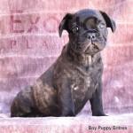 Eritrea (Taken) - Boy Frenchie Puppy