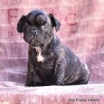 Liberia (Taken) - Boy Frenchie Puppy
