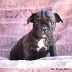 Mali (Taken) - Girl Frenchie Puppy