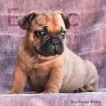 Sudan (Taken) - Boy Frenchie Puppy