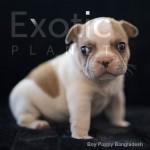Bangladesh (Taken) - White Pied Boy Frenchie Puppy