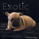Egypt (Taken) - Fawn Girl Frenchie Puppy