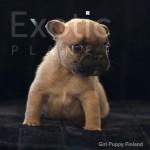 Finland (Taken) - Fawn Girl Frenchie Puppy