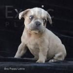 Latvia (Taken) - Fawn Boy Frenchie Puppy