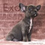 Scotland (Taken) - Fawn Girl Frenchie Puppy