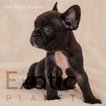 Bahrain (Taken) - Boy Frenchie Puppy