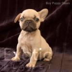 Oman (Taken) - Boy Frenchie Puppy