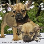 Available Frenchies