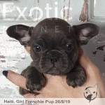 Haiti Blue Female Frenchie Puppy POA