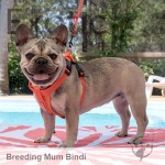 French Bulldog Dame - Bindi NFS