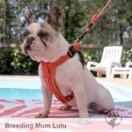 French Bulldog Dame - Lulu NFS