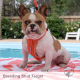French Bulldog Stud - Target (For Stud) POA