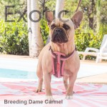French Bulldog Dame - Carmel NFS