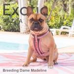 French Bulldog Dame - Madeline NFS