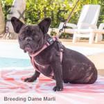 French Bulldog Dame - Marli NFS