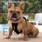 French Bulldog Stud - Boof (For Stud) POA