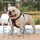 French Bulldog Stud - Frankie (For Stud) POA