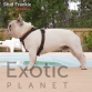 French Bulldog Stud - Frankie (For Stud) POA