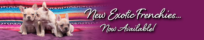 new-exotic-frenchies-now-available
