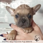 Stanley Blue Fawn/Red Male Frenchie Puppy POA