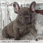 Valley Lilac Male Frenchie Puppy POA